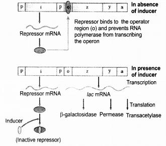 Ncert Exemplar Solutions For Class 12 Biology Chapter 6 Molecular Basis Of Inheritance