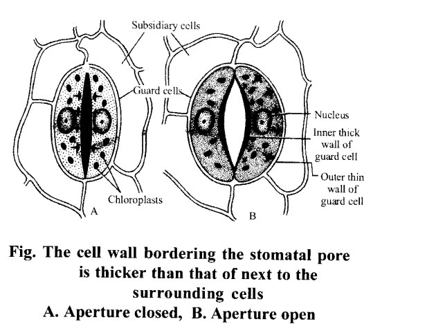 NCERT Solutions for Class 11 Biology Chapter 11 Transport in Plants 13
