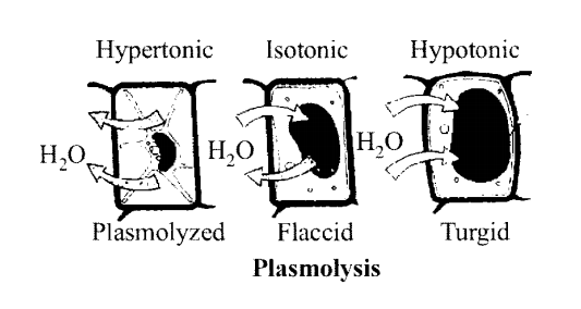 NCERT Solutions for Class 11 Biology Chapter 11 Transport in Plants 7