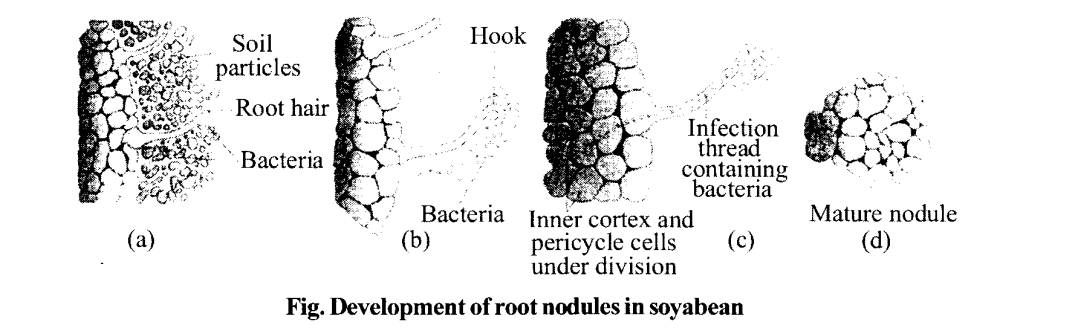 NCERT Solutions for Class 11 Biology Chapter 12 Mineral Nutrition 2