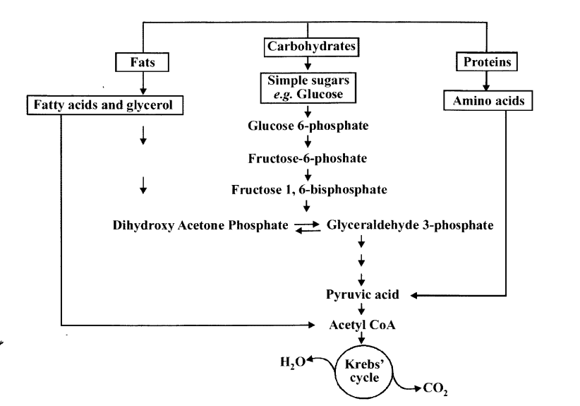 NCERT Solutions for Class 11 Biology Chapter 14 Respiration in Plants 16