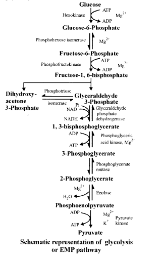 NCERT Solutions for Class 11 Biology Chapter 14 Respiration in Plants 4