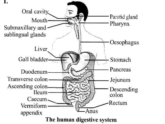 NCERT Solutions for Class 11 Biology Chapter 16 Digestion and Absorption 8