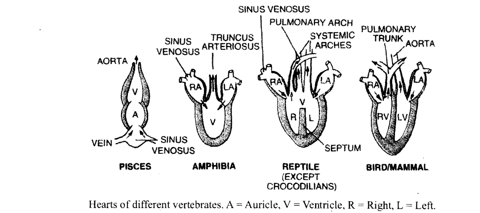 NCERT Solutions for Class 11 Biology Chapter 18 Body Fluids and Circulation 6