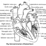NCERT Solutions for Class 11 Biology Chapter 18 Body Fluids and Circulation 8