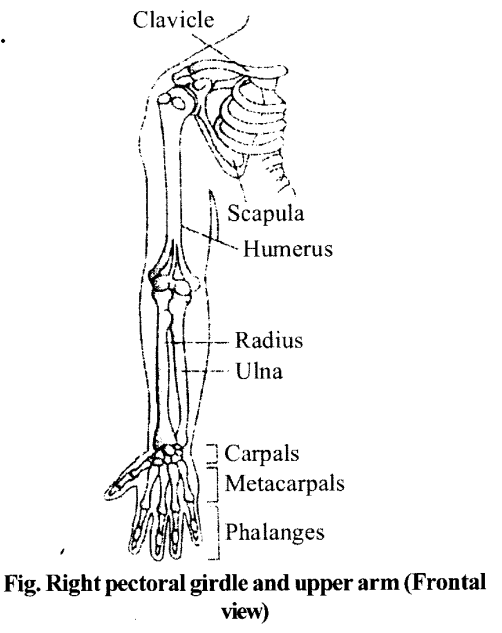 NCERT Solutions for Class 11 Biology Chapter 20 Locomotion and Movement 7