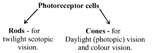 NCERT Solutions for Class 11 Biology Chapter 21 Neural control and co-ordination 2