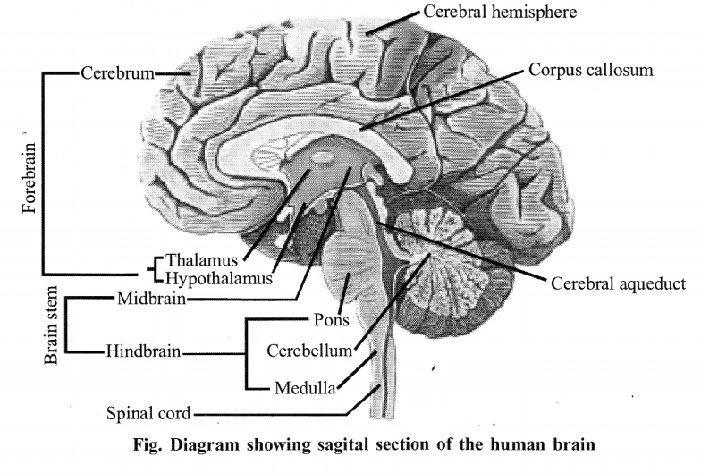 NCERT Solutions for Class 11 Biology Chapter 21 Neural control and co-ordination 7