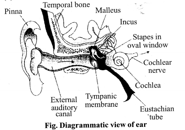 NCERT Solutions for Class 11 Biology Chapter 21 Neural control and co-ordination 9