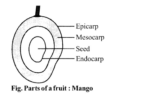 NCERT Solutions for Class 11 Biology Chapter 5 Morphology of Flowering Plants 12