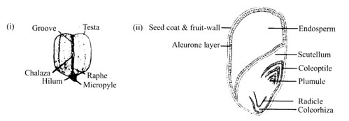 NCERT Solutions for Class 11 Biology Chapter 5 Morphology of Flowering Plants 4