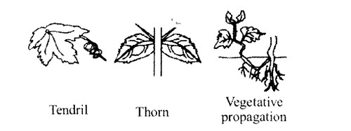 NCERT Solutions for Class 11 Biology Chapter 5 Morphology of Flowering Plants 5