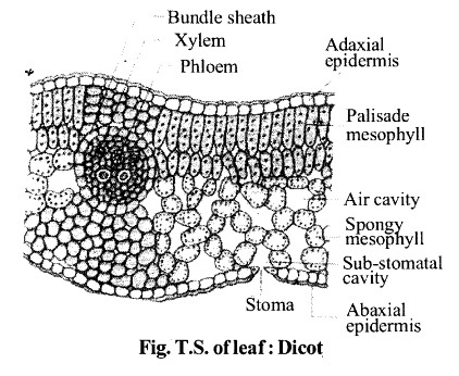 NCERT Solutions for Class 11 Biology Chapter 6 Anatomy of Flowering Plants 10