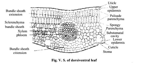 NCERT Solutions for Class 11 Biology Chapter 6 Anatomy of Flowering Plants 11