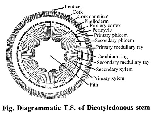 NCERT Solutions for Class 11 Biology Chapter 6 Anatomy of Flowering Plants 2