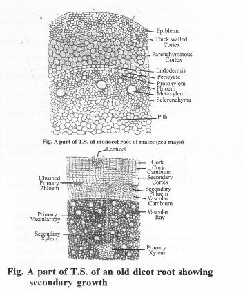 NCERT Solutions for Class 11 Biology Chapter 6 Anatomy of Flowering Plants 3