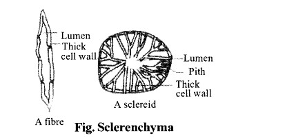NCERT Solutions for Class 11 Biology Chapter 6 Anatomy of Flowering Plants 7