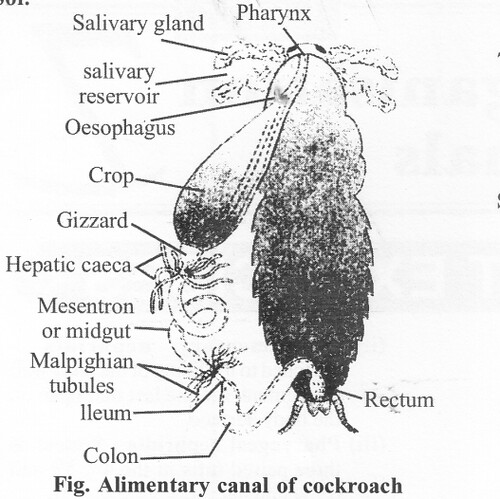 NCERT Solutions for Class 11 Biology Chapter 7 Structural Organization in Animals 2