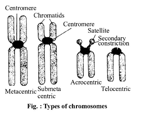 NCERT Solutions for Class 11 Biology Chapter 8 Cell The Unit of Life 5