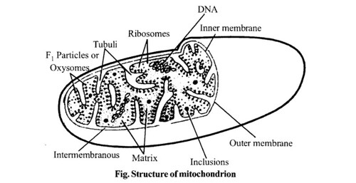 NCERT Solutions for Class 11 Biology Chapter 8 Cell The Unit of Life 8