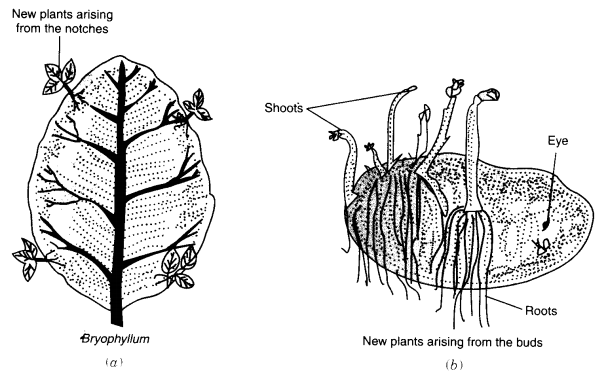 NCERT Solutions for Class 7 Science Chapter 12 Reproduction in Plants Q.2