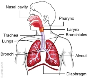 MCQ Questions for Class 11 Biology Chapter 17 Breathing and Exchange of Gases with Answers 3