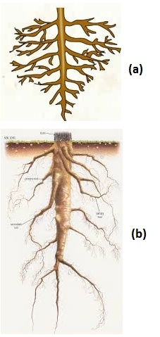 MCQ Questions for Class 11 Biology Chapter 5 Morphology of Flowering Plants with Answers 3