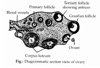 NCERT Solutions for Class 12 Biology Chapter 3 Human Reproduction Q13.1