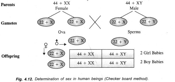 Heredity and Evolution Class 10 Important Questions Science Chapter 9 image - 12