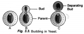How do Organisms Reproduce Class 10 Important Questions Science Chapter 8 image - 11