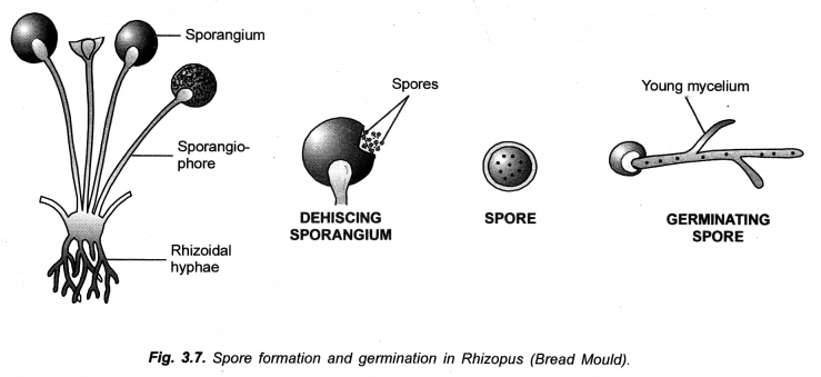 How do Organisms Reproduce Class 10 Important Questions Science Chapter 8 image - 3