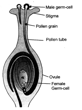 How do Organisms Reproduce Class 10 Important Questions Science Chapter 8 image - 31