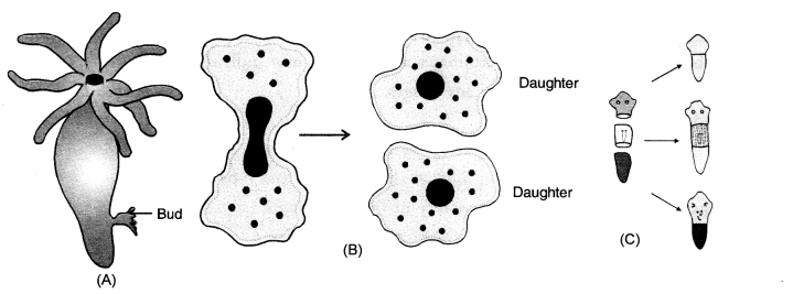 How do Organisms Reproduce Class 10 Important Questions Science Chapter 8 image - 33