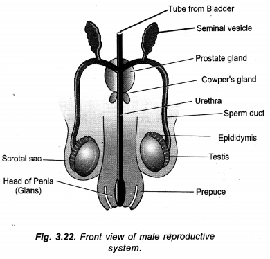 How do Organisms Reproduce Class 10 Important Questions Science Chapter 8 image - 40