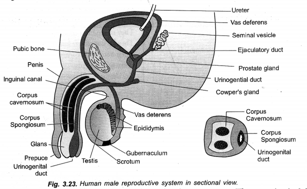 How do Organisms Reproduce Class 10 Important Questions Science Chapter 8 image - 51