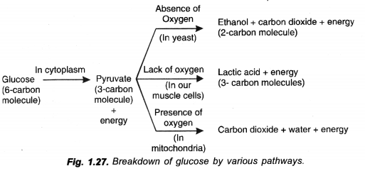 Life Processes Class 10 Important Questions and Answers Science Chapter 6 image - 9