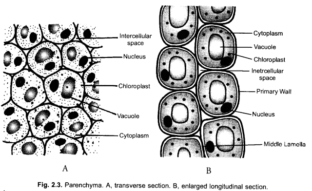 NCERT Exemplar Solutions for Class 9 Science Chapter 6 Tissues image - 6