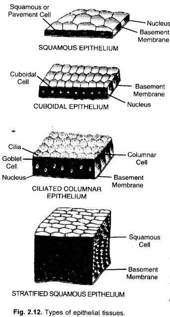 NCERT Exemplar Solutions for Class 9 Science Chapter 6 Tissues image - 9