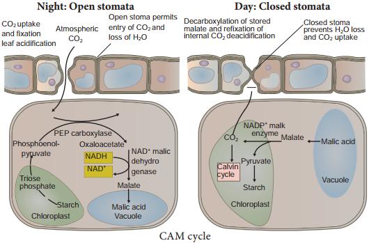 Crassulacean Acid Metabolism or CAM Cycle img 1
