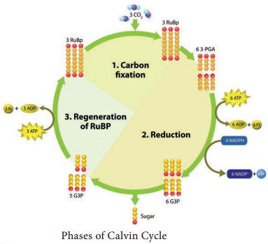 Dark Reaction or Cycle or Biosynthetic Phase or Photosynthetic Carbon Reduction (PCR) Cycle img 1