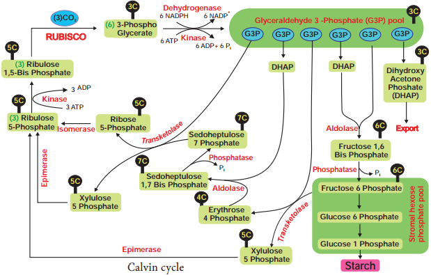Dark Reaction or Cycle or Biosynthetic Phase or Photosynthetic Carbon Reduction (PCR) Cycle img 2