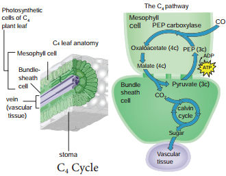 Hatch & Slack Pathway or C Cycle or Dicarboxylic Acid Pathway or Dicarboxylation Pathway img 1
