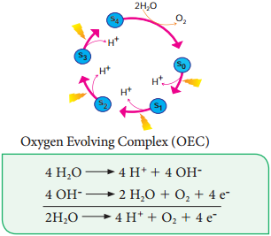 Photo Chemical Phase of Light Reaction img 1