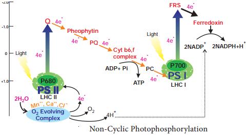 Photophosphorylation img 4