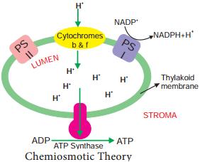 Photophosphorylation img 5