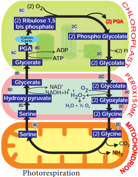 Photorespiration or Cycle or Photosynthetic Carbon Oxidation (PCO) Cycle img 1