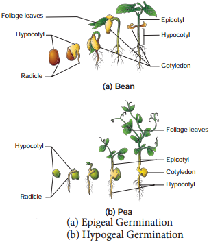 Seed Germination and Dormancy img 1