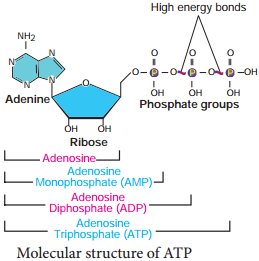 Structure of ATP img 1